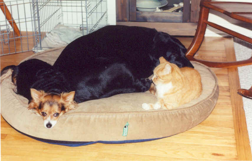 Cali (long haired Chihuahua), Zoe (Black Lab), and Freckles taking a ...